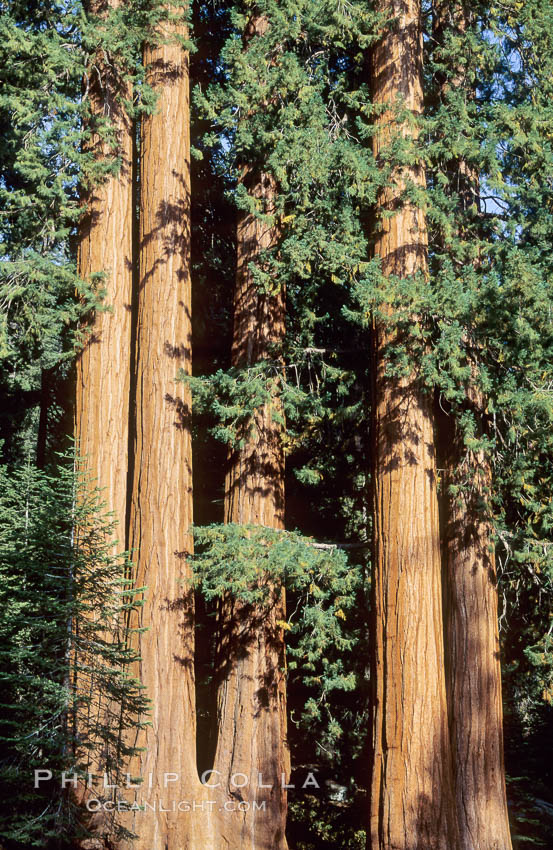 Sequoia trees., Sequoiadendron giganteum,  Copyright Phillip Colla, image #02352, all rights reserved worldwide.