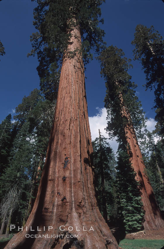 Giant Sequoia tree. Mariposa Grove, Yosemite National Park, California, USA, Sequoiadendron giganteum, natural history stock photograph, photo id 03640