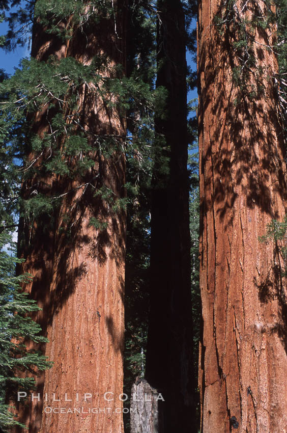 Giant Sequoia tree. Mariposa Grove, Yosemite National Park, California, USA, Sequoiadendron giganteum, natural history stock photograph, photo id 03665