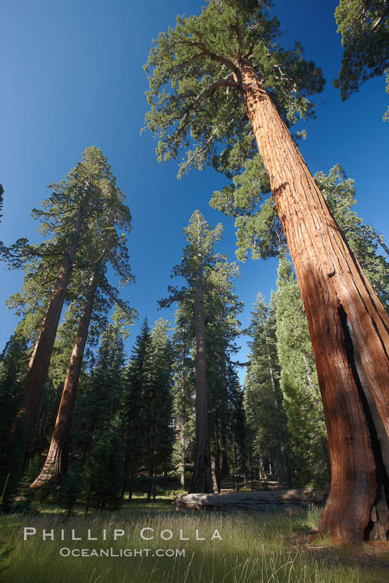 Giant sequioa trees, in the Mariposa Grove soar skyward from the cool, shaded forest floor. Yosemite National Park, California, USA, Sequoiadendron giganteum, natural history stock photograph, photo id 23274