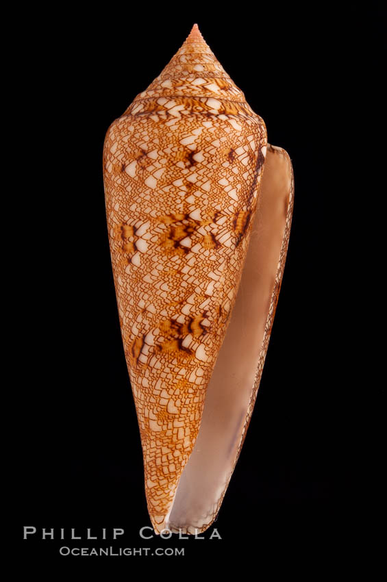 Glory of the Sea cone shell, gold form.  The Glory of the Sea cone shell, once one of the rarest and most sought after of all seashells, remains the most famous and one of the most desireable shells for modern collectors., Conus gloriamaris, natural history stock photograph, photo id 08802