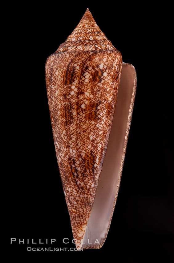 Glory of the Sea cone shell, brown form.  The Glory of the Sea cone shell, once one of the rarest and most sought after of all seashells, remains the most famous and one of the most desireable shells for modern collectors., Conus gloriamaris, natural history stock photograph, photo id 08732