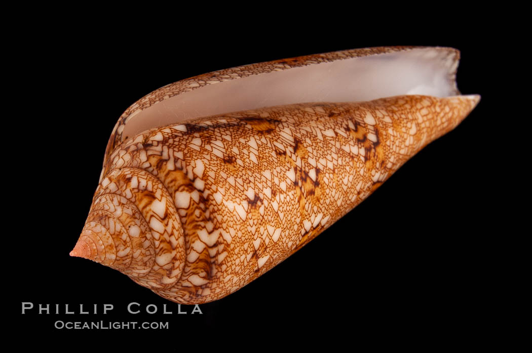 Glory of the Sea cone shell, gold form.  The Glory of the Sea cone shell, once one of the rarest and most sought after of all seashells, remains the most famous and one of the most desireable shells for modern collectors., Conus gloriamaris, natural history stock photograph, photo id 08804