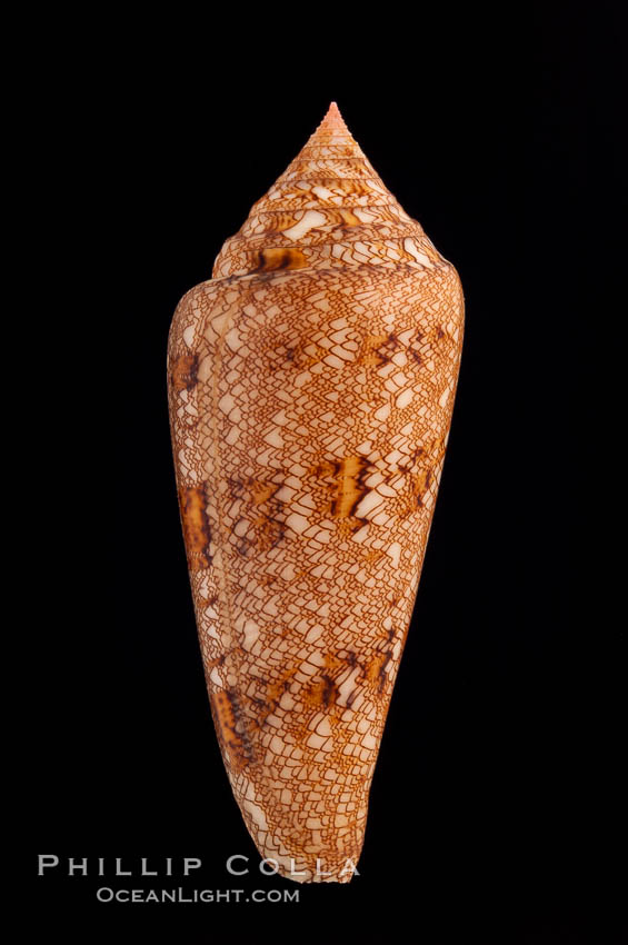 Glory of the Sea cone shell, gold form.  The Glory of the Sea cone shell, once one of the rarest and most sought after of all seashells, remains the most famous and one of the most desireable shells for modern collectors., Conus gloriamaris, natural history stock photograph, photo id 08803
