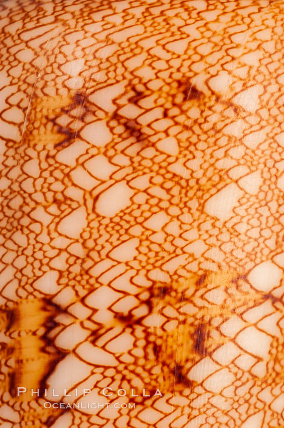 Detail showing tenting pattern, Glory of the Sea cone shell, gold form.  The Glory of the Sea cone shell, once one of the rarest and most sought after of all seashells, remains the most famous and one of the most desireable shells for modern collectors., Conus gloriamaris, natural history stock photograph, photo id 08807