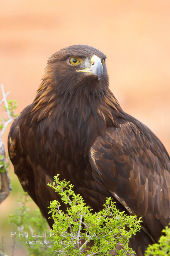 golden eagle bird. Golden eagle., Aquila