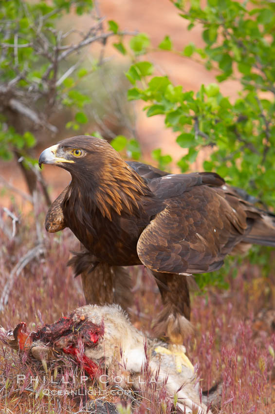 Golden eagle consumes a rabbit., Aquila chrysaetos, natural history stock photograph, photo id 12220