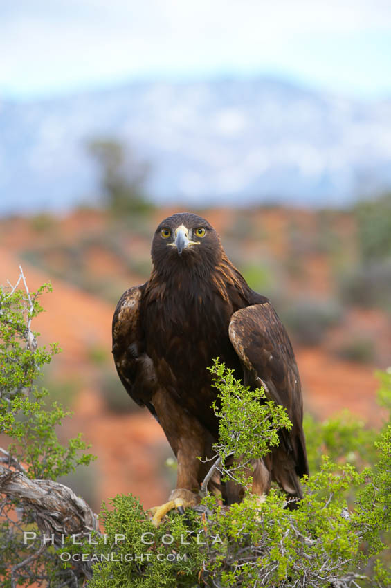 Golden eagle., Aquila chrysaetos, natural history stock photograph, photo id 12231