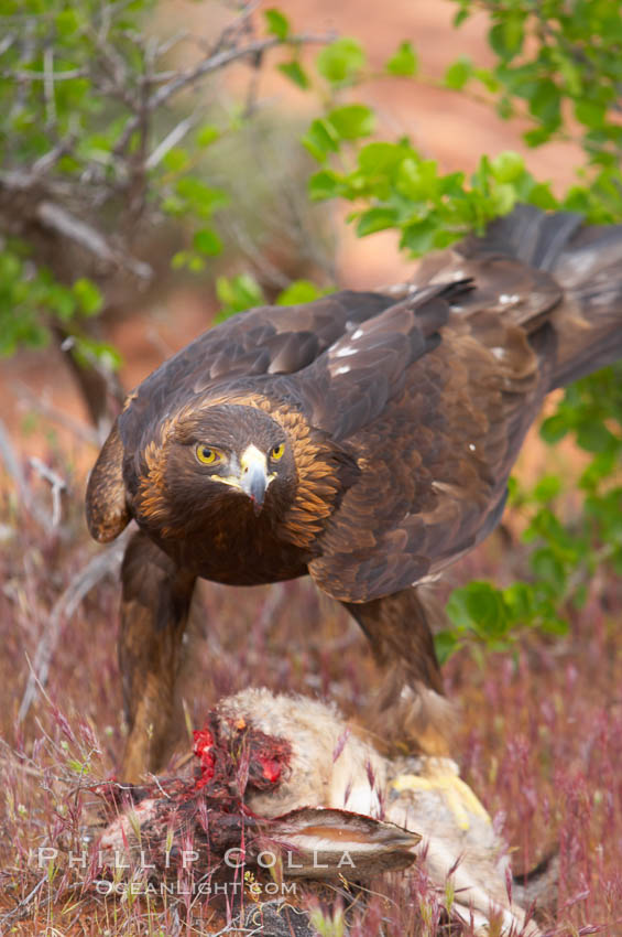 golden eagle wallpaper. Golden eagle consumes a