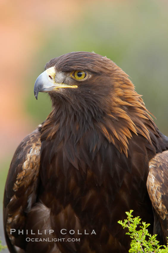 Golden eagle., Aquila chrysaetos, natural history stock photograph, photo id 12215