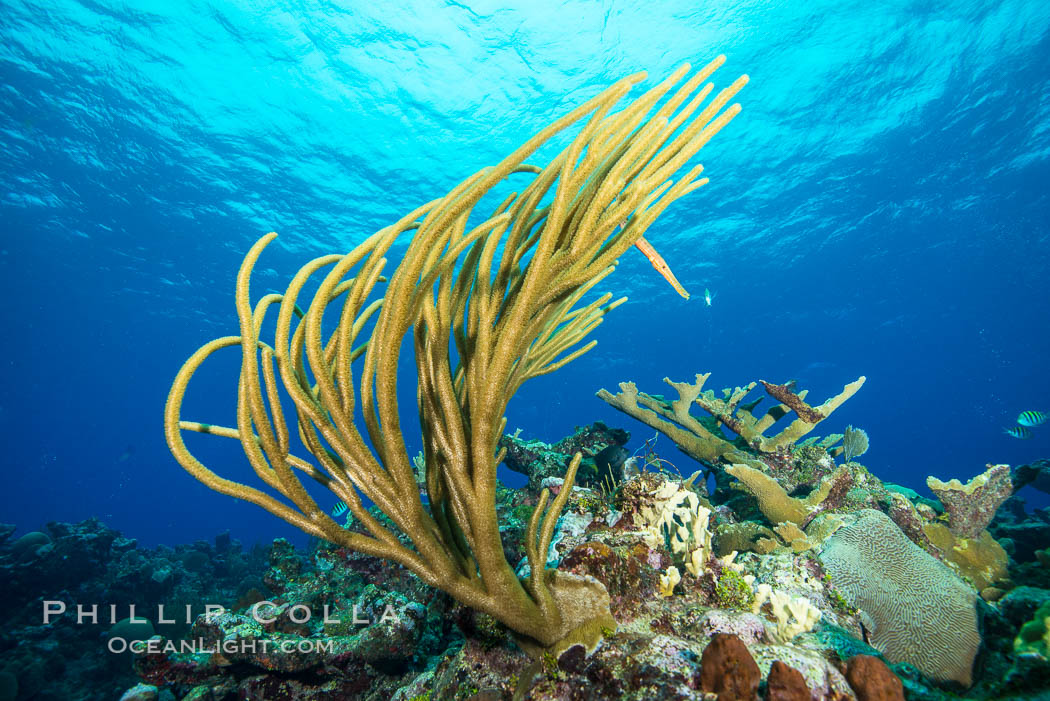 Gorgonian soft corals, Grand Cayman Island. Grand Cayman, Cayman Islands, natural history stock photograph, photo id 32207