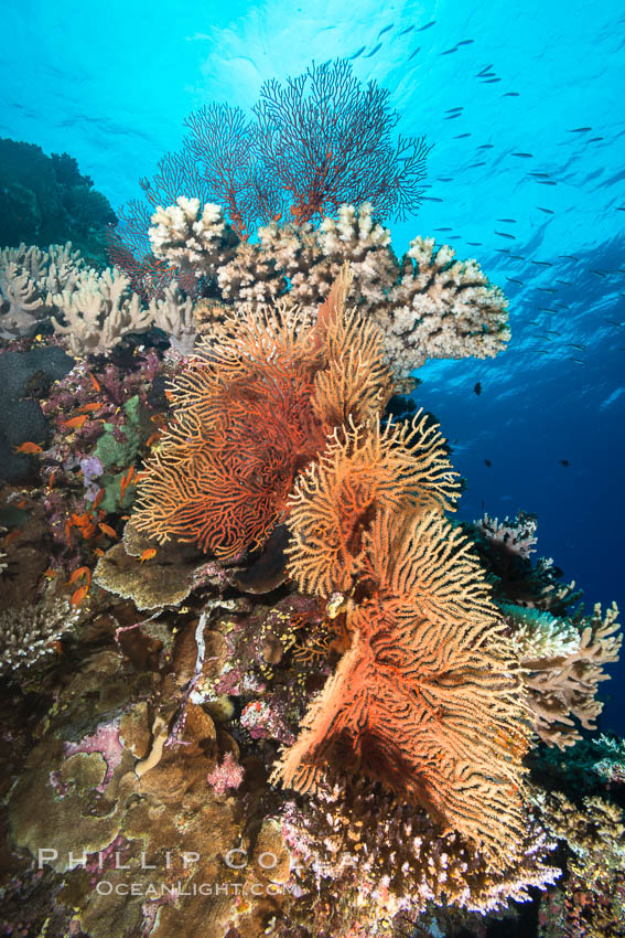 Gorgonians and Stony Corals, Tropical Coral Reef, Fiji. Vatu I Ra Passage, Bligh Waters, Viti Levu  Island, Gorgonacea, Plexauridae, natural history stock photograph, photo id 31360