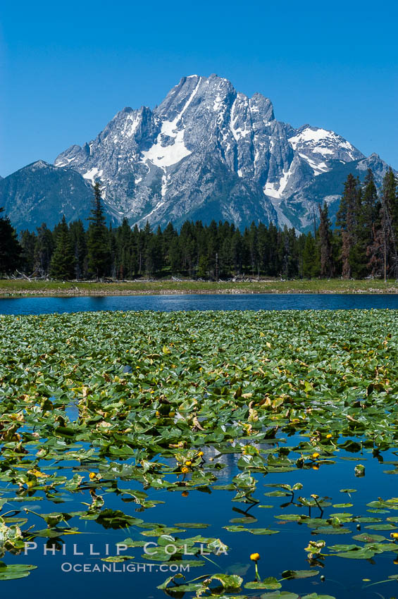 Lilypads cover Heron Pond, Mount Moran in the background. Heron Pond, Grand Teton National Park, Wyoming, USA, natural history stock photograph, photo id 07428