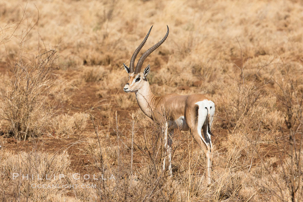 Grant's Gazelle, Meru National Park, Kenya. Meru National Park, Kenya, Nanger granti, natural history stock photograph, photo id 29715