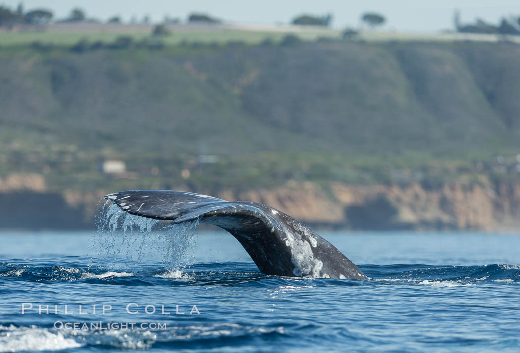 Gray whale raising fluke before diving, on southern migration to calving lagoons in Baja, Eschrichtius robustus, San Diego, California