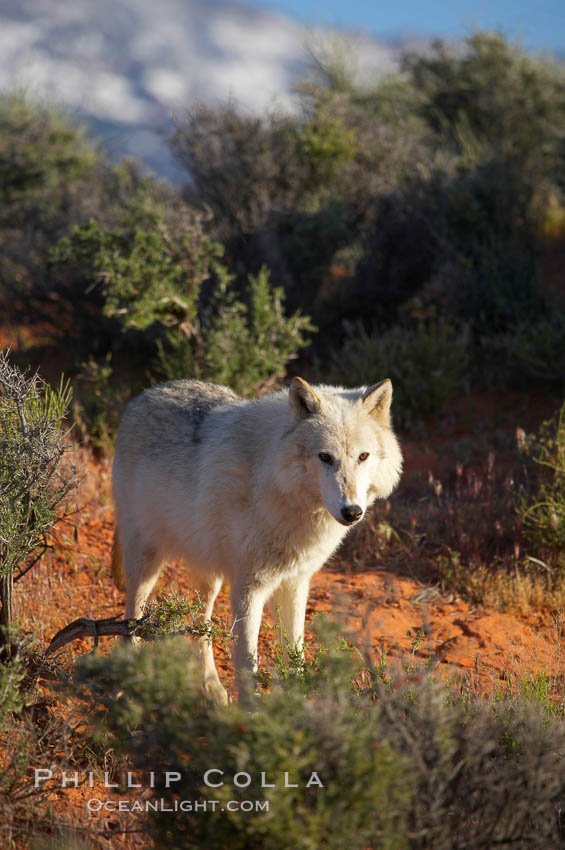Gray wolf., Canis lupus, natural history stock photograph, photo id 12423