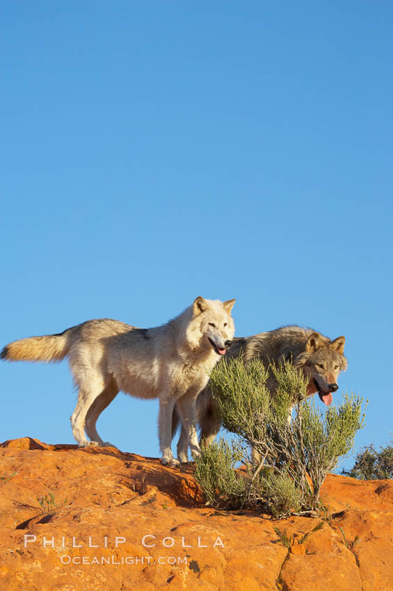 Gray wolf., Canis lupus, natural history stock photograph, photo id 12419