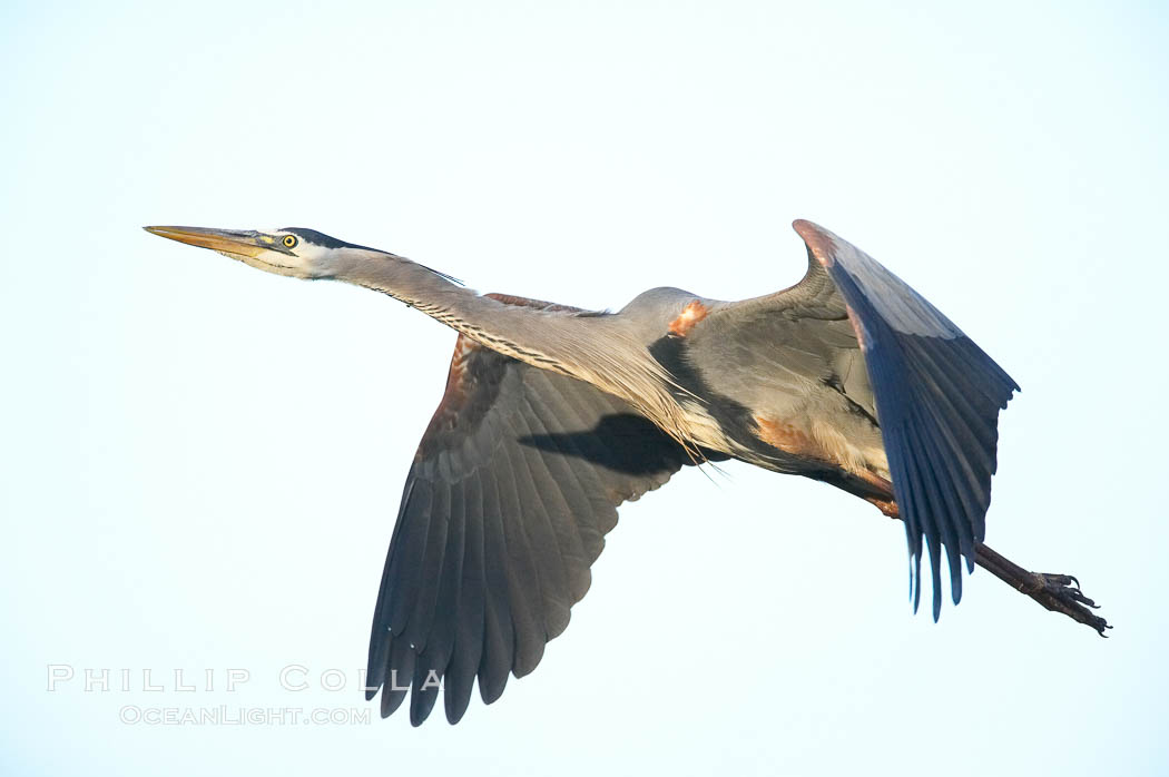 Great blue heron in flight., Ardea herodias,  Copyright Phillip Colla, image #18723, all rights reserved worldwide.