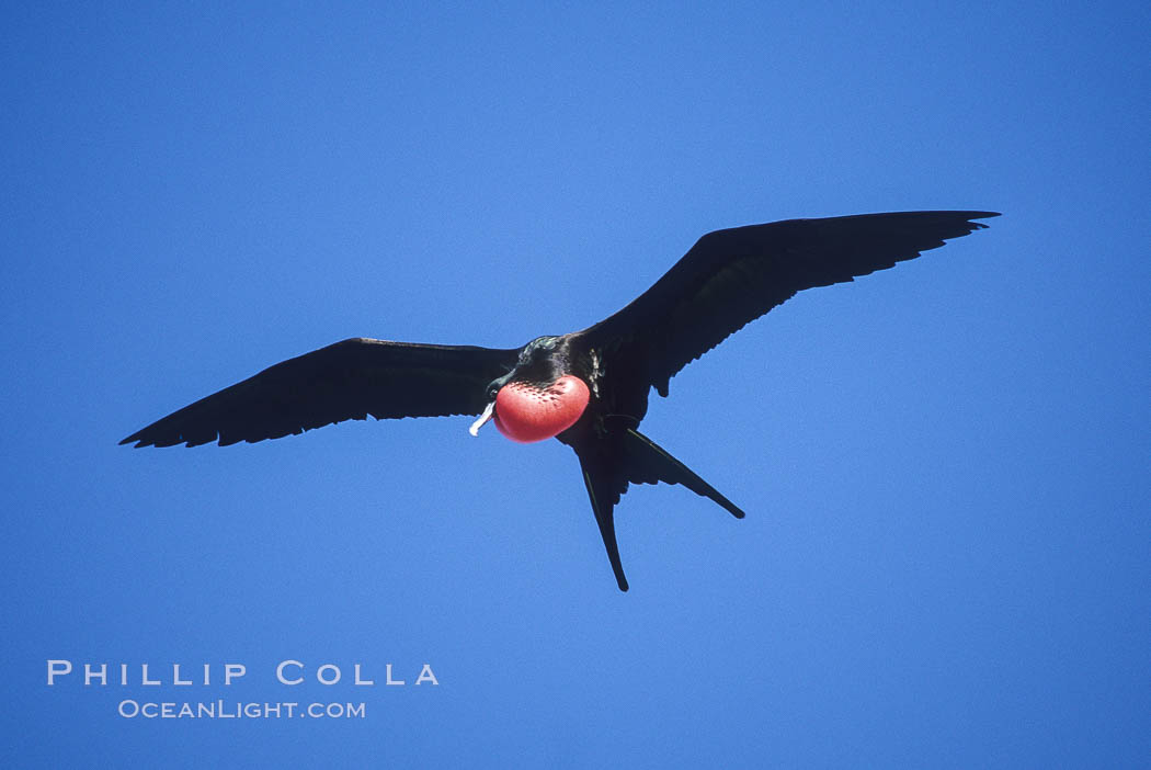 Great frigate bird (note green scapular feathers), adult male. North Seymour Island, Galapagos Islands, Ecuador, Fregata minor, natural history stock photograph, photo id 02272