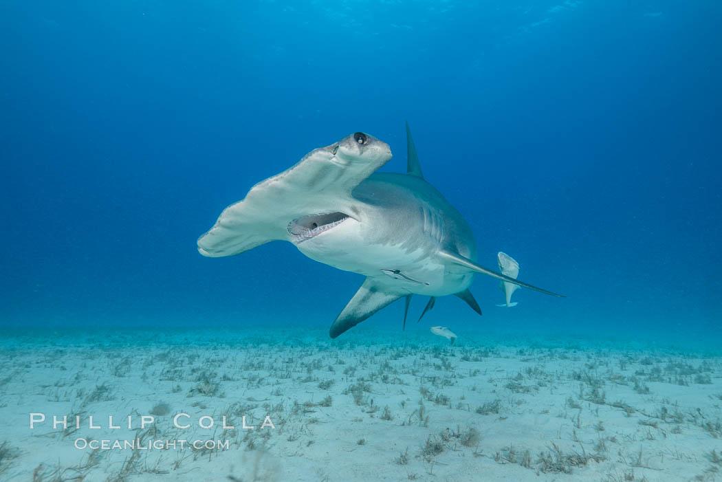Great hammerhead shark. Bimini, Bahamas, Sphyrna mokarran, natural history stock photograph, photo id 31974
