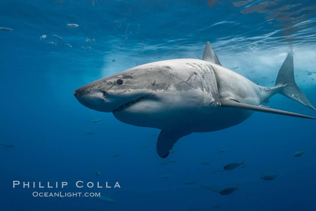 Great white shark, underwater. Guadalupe Island (Isla Guadalupe), Baja California, Mexico, Carcharodon carcharias, natural history stock photograph, photo id 21361