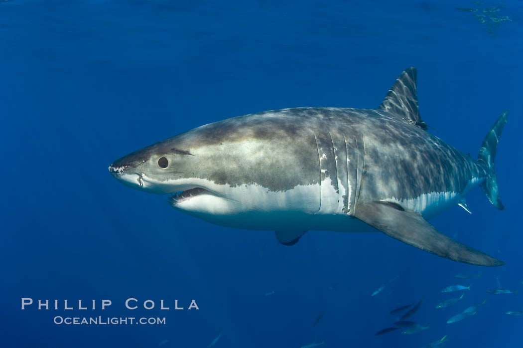 A great white shark swims through the clear waters of Isla Guadalupe, far offshore of the Pacific Coast of Baja California.  Guadalupe Island is host to a concentration of large great white sharks, which visit the island to feed on pinnipeds and tuna. Guadalupe Island (Isla Guadalupe), Baja California, Mexico, Carcharodon carcharias, natural history stock photograph, photo id 07666