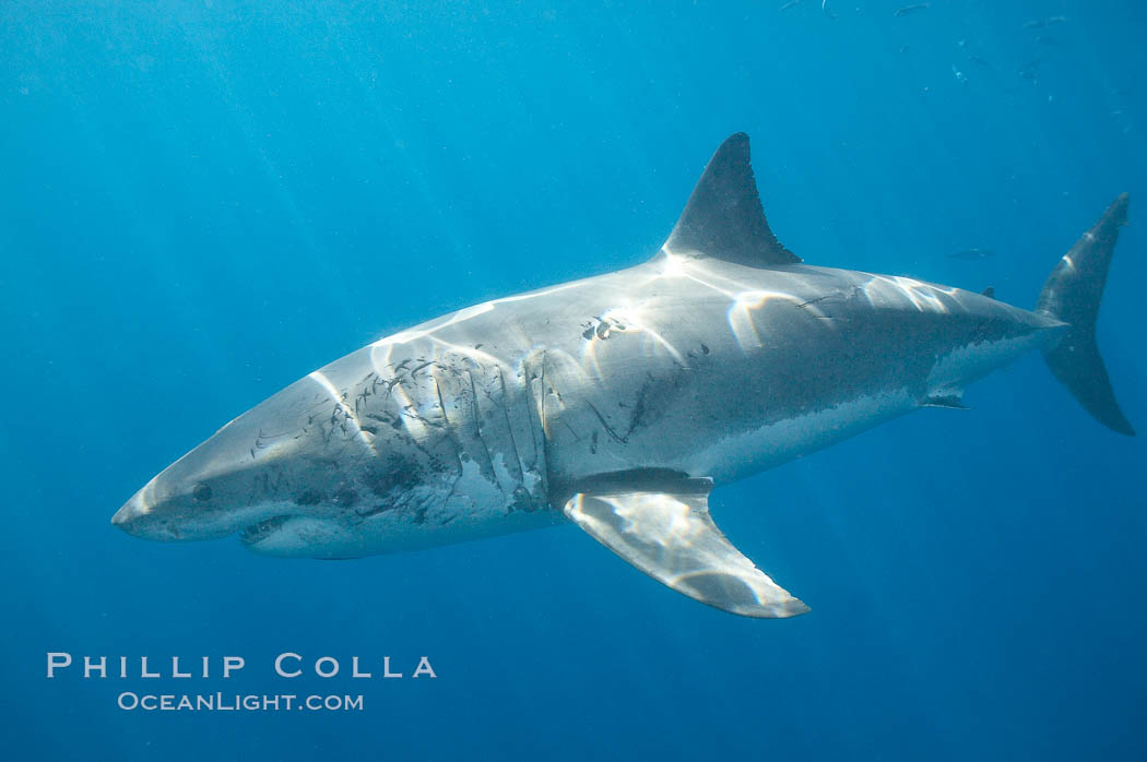 A great white shark shows scarring on the left side of its body, almost certainly the result of bites from another white shark.  Certain formidable prey, such as huge elephant seals who have claws and large jaws, can also inflict injuries on the shark during the course of an attack.  Such injuries, especially to the eyes or gills, could be fatal to the shark. In this case the shark has survived its injuries and the resulting scars are helping researchers identify this shark. Guadalupe Island (Isla Guadalupe), Baja California, Mexico, Carcharodon carcharias, natural history stock photograph, photo id 19482