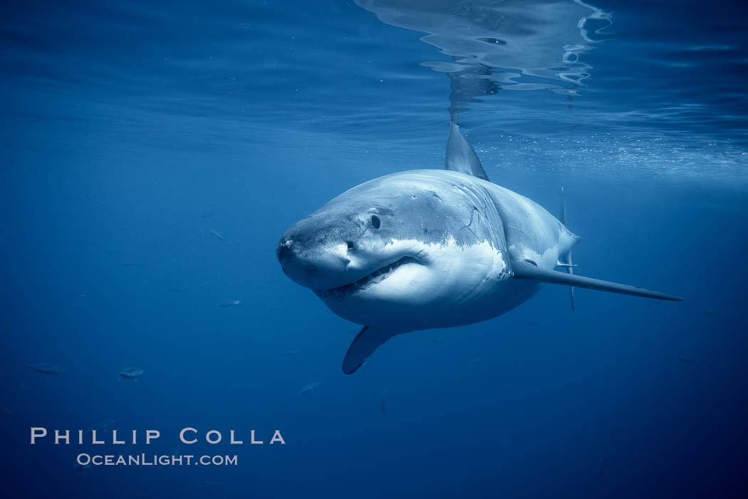 A great white shark swims underwater through the ocean at Guadalupe Island, Carcharodon carcharias, Guadalupe Island (Isla Guadalupe)