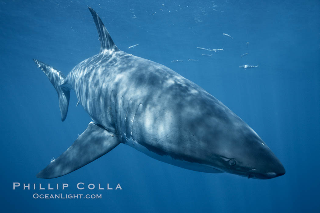 A great white shark swims underwater through the ocean at Guadalupe Island. Guadalupe Island (Isla Guadalupe), Baja California, Mexico, Carcharodon carcharias, natural history stock photograph, photo id 21348