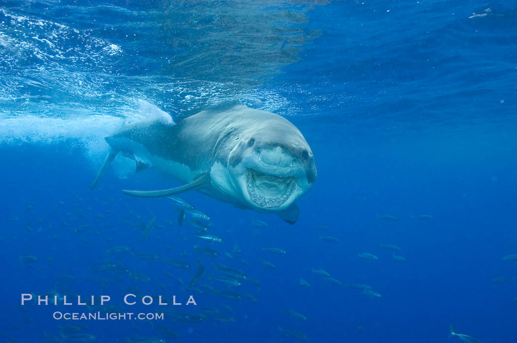 A great white shark underwater.  A large great white shark cruises the clear oceanic waters of Guadalupe Island (Isla Guadalupe)., Carcharodon carcharias,  Copyright Phillip Colla, image #10119, all rights reserved worldwide.