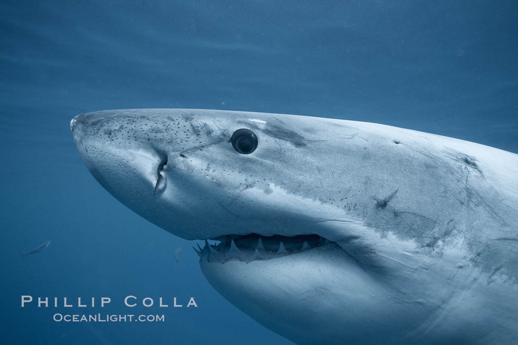 Great white shark, underwater., Carcharodon carcharias,  Copyright Phillip Colla, image #21347, all rights reserved worldwide.