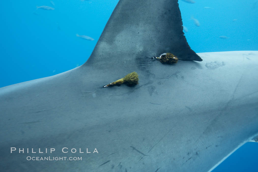 Two satellite tags, below dorsal fin of great white shark.  The tags record the sharks movements, relaying data to researchers via satellite, Carcharodon carcharias, Guadalupe Island (Isla Guadalupe)