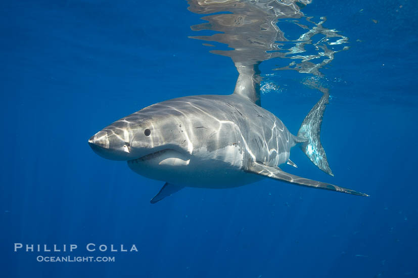 A great white shark swims through the clear waters of Isla Guadalupe, far offshore of the Pacific Coast of Mexico's Baja California. Guadalupe Island is host to a concentration of large great white sharks, which visit the island to feed on pinnipeds and use it as a staging area before journeying farther into the Pacific ocean., Carcharodon carcharias,  Copyright Phillip Colla, image #19465, all rights reserved worldwide.