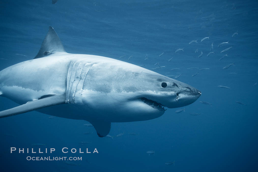 A great white shark swims underwater through the ocean at Guadalupe Island. Guadalupe Island (Isla Guadalupe), Baja California, Mexico, Carcharodon carcharias, natural history stock photograph, photo id 21349