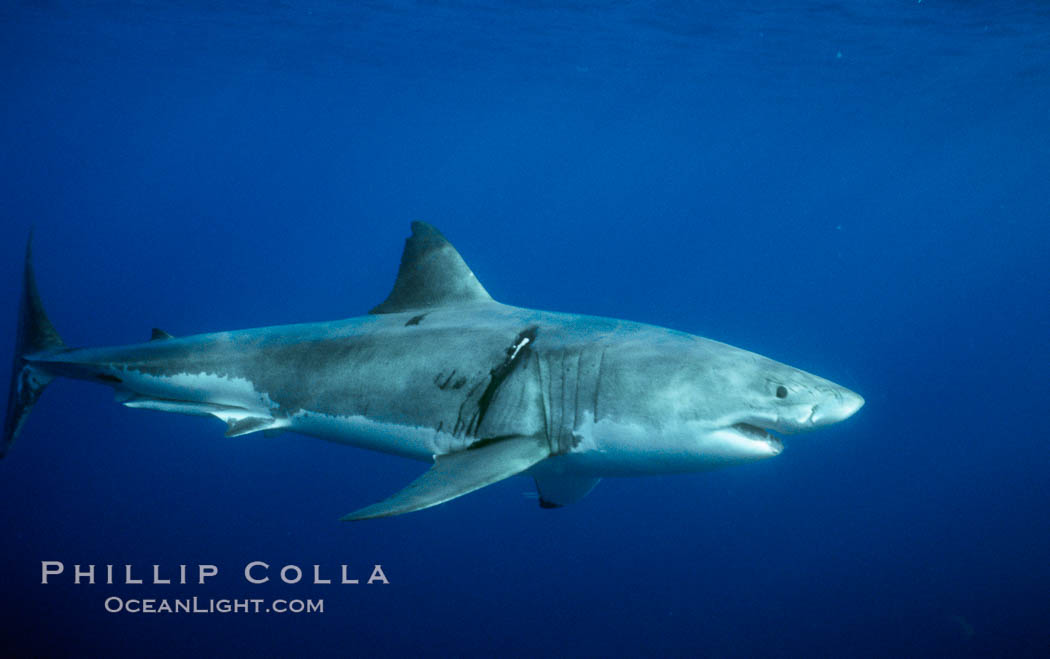 Great white shark, injury behind right pectoral fin likely from another white shark during courtship or territorial dispute. Guadalupe Island (Isla Guadalupe), Baja California, Mexico, Carcharodon carcharias, natural history stock photograph, photo id 06921