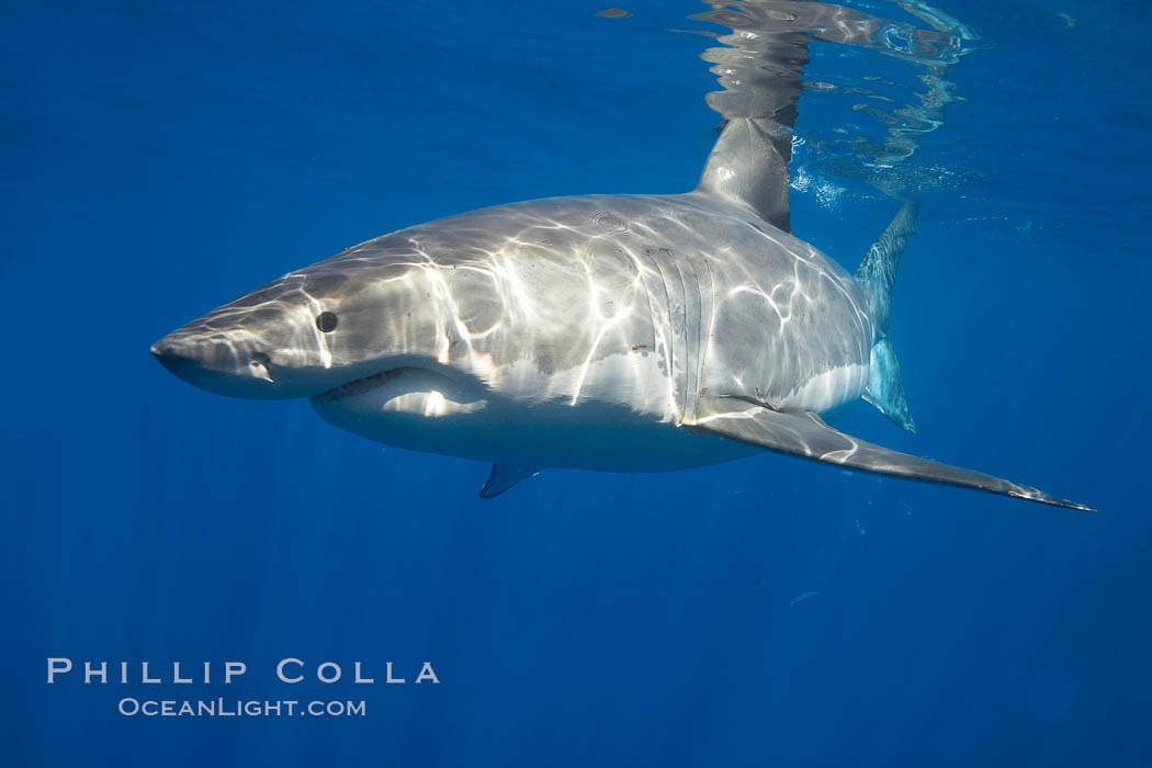 A great white shark is countershaded, with a dark gray dorsal color and light gray to white underside, making it more difficult for the shark's prey to see it as approaches from above or below in the water column.  The particular undulations of the countershading line along its side, where gray meets white, is unique to each shark and helps researchers to identify individual sharks in capture-recapture studies. Guadalupe Island is host to a relatively large population of great white sharks who, through a history of video and photographs showing their  countershading lines, are the subject of an ongoing study of shark behaviour, migration and population size. Guadalupe Island (Isla Guadalupe), Baja California, Mexico, Carcharodon carcharias, natural history stock photograph, photo id 19455