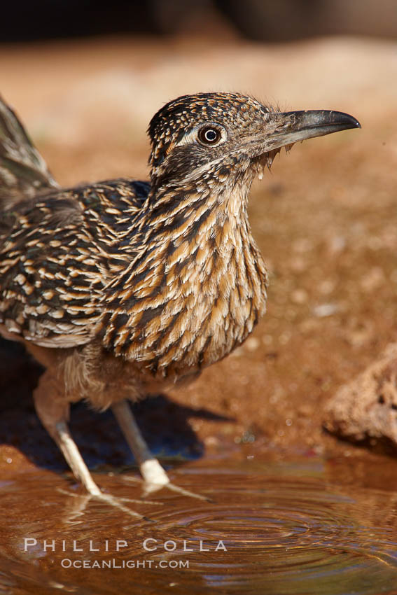 Greater roadrunner. Amado, Arizona, USA, Geococcyx californianus, natural history stock photograph, photo id 23077
