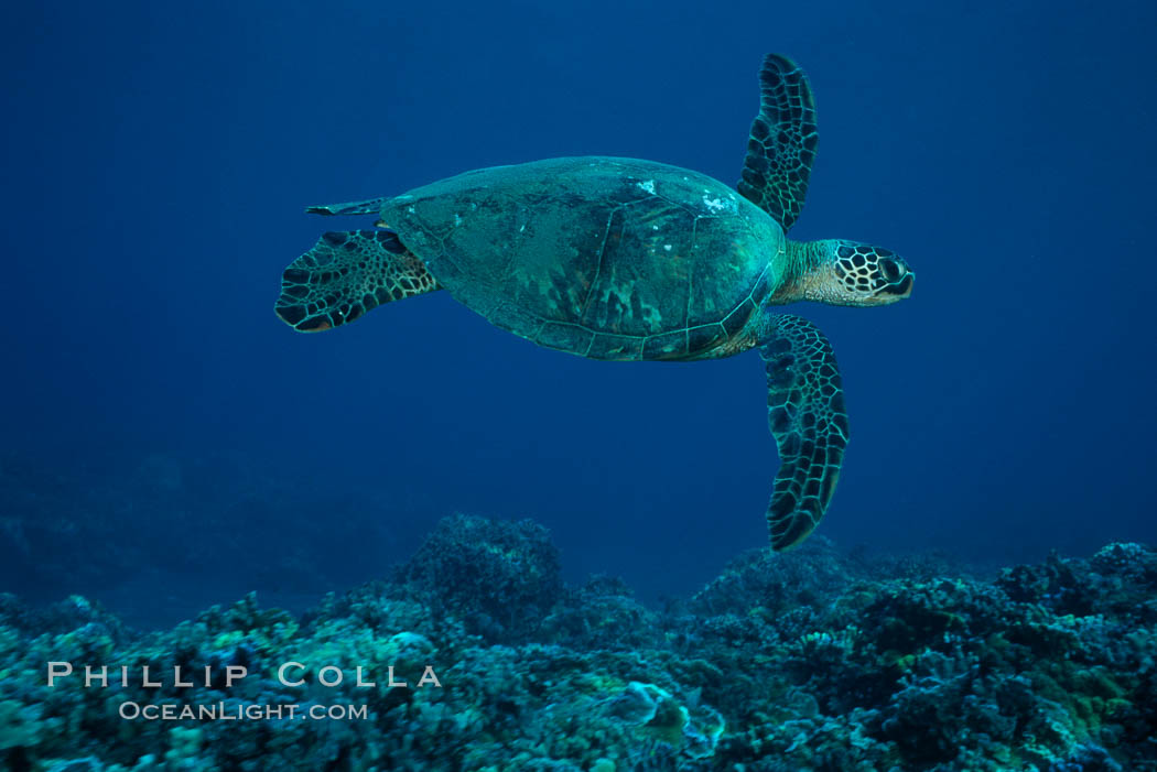 Green sea turtle, West Maui. Hawaii, USA, Chelonia mydas, natural history stock photograph, photo id 02844