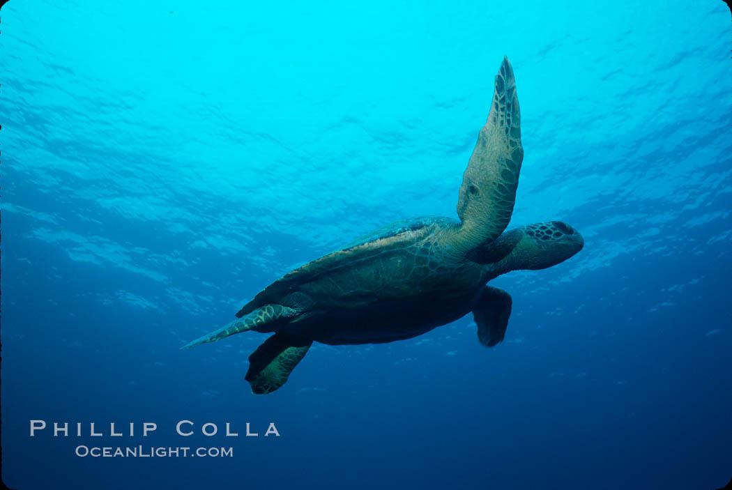 Green sea turtle. Galapagos Islands, Ecuador, Chelonia mydas, natural history stock photograph, photo id 02429