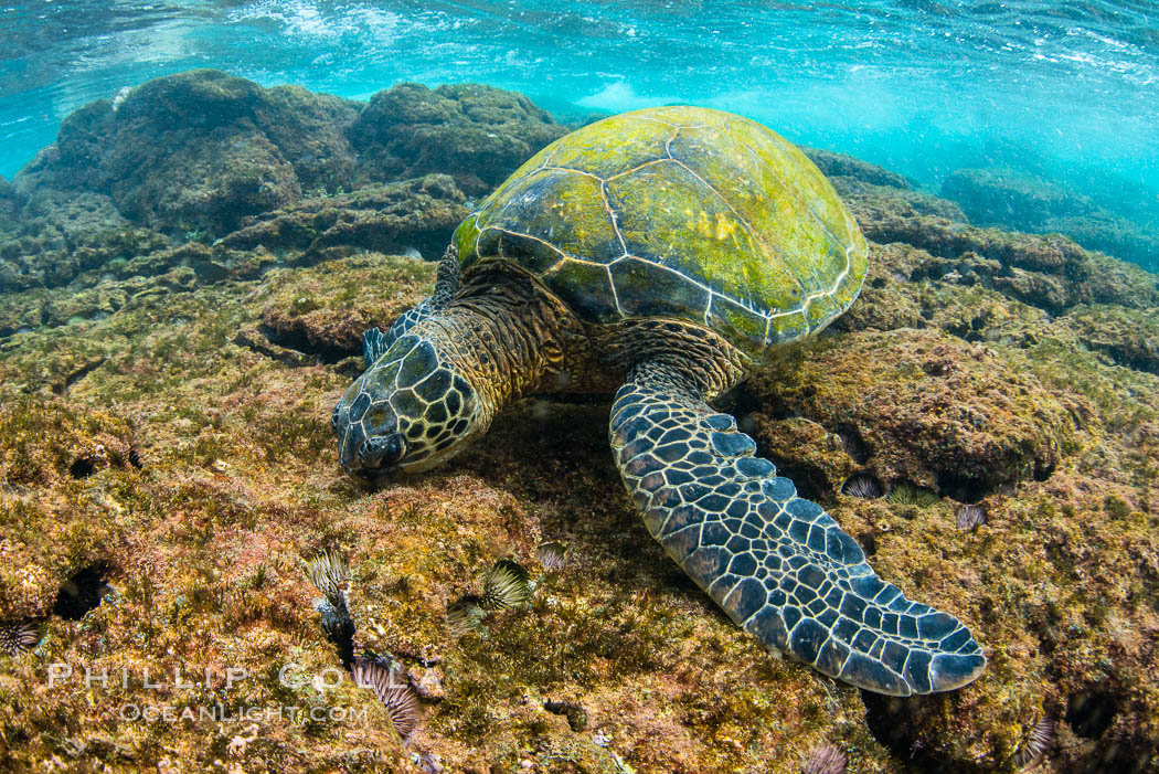 Green sea turtle foraging for algae on coral reef, Chelonia mydas, West Maui, Hawaii. USA, Chelonia mydas, natural history stock photograph, photo id 34506