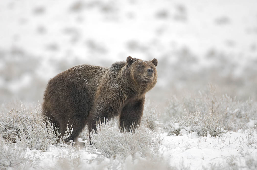 Grizzly bear in snow, Ursus arctos horribilis, Lamar Valley, Yellowstone National Park, Wyoming