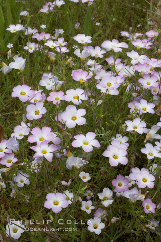 Ground pink blooms in spring, Batiquitos Lagoon, Carlsbad. California, USA, Linanthus dianthiflorus, natural history stock photograph, photo id 11502