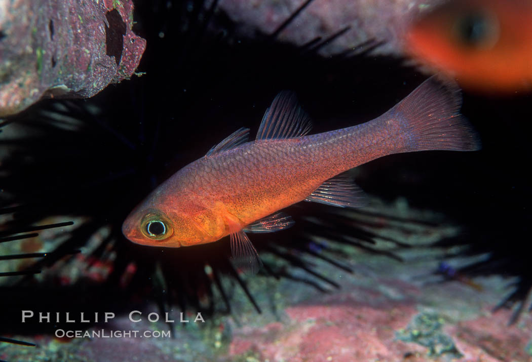 Guadalupe cardinalfish photo stock photograph of a for Guadalupe island fishing