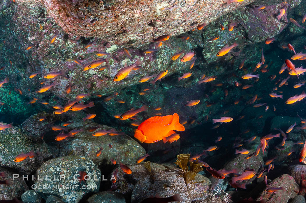 Guadalupe cardinalfish (and a lone orange garibaldi), typically schooling together in the shadow of a rock ledge. Guadalupe Island (Isla Guadalupe), Baja California, Mexico, Apogon guadalupensis, natural history stock photograph, photo id 09587