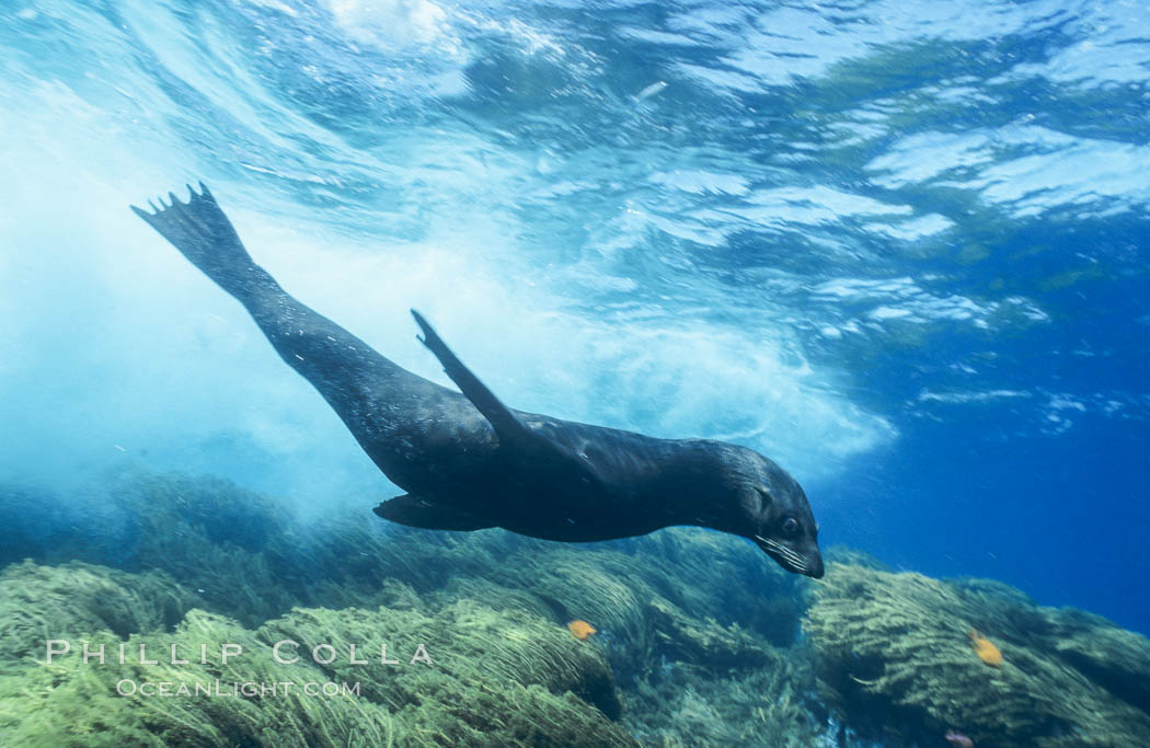Guadalupe fur seal surfing under wave. Guadalupe Island (Isla Guadalupe), Baja California, Mexico, Arctocephalus townsendi, natural history stock photograph, photo id 02370