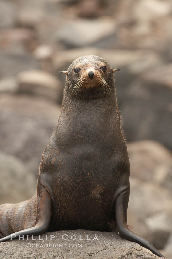 Guadalupe fur seal, hauled out upon volcanic rocks along the shoreline of Guadalupe Island. Guadalupe Island (Isla Guadalupe), Baja California, Mexico, Arctocephalus townsendi, natural history stock photograph, photo id 21352