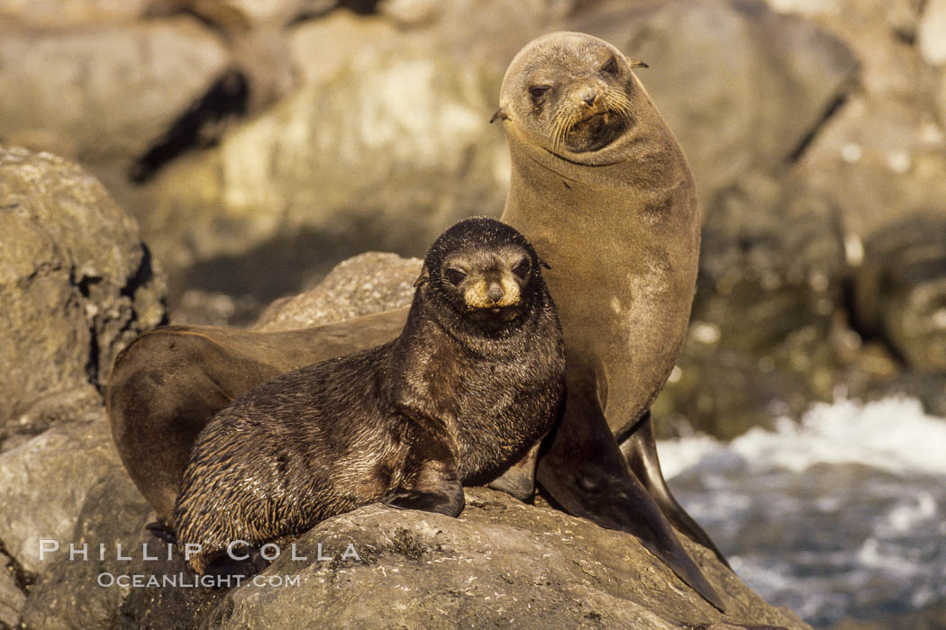 Guadalupe fur seal mother and pup. Guadalupe Island (Isla Guadalupe), Baja California, Mexico, Arctocephalus townsendi, natural history stock photograph, photo id 02440