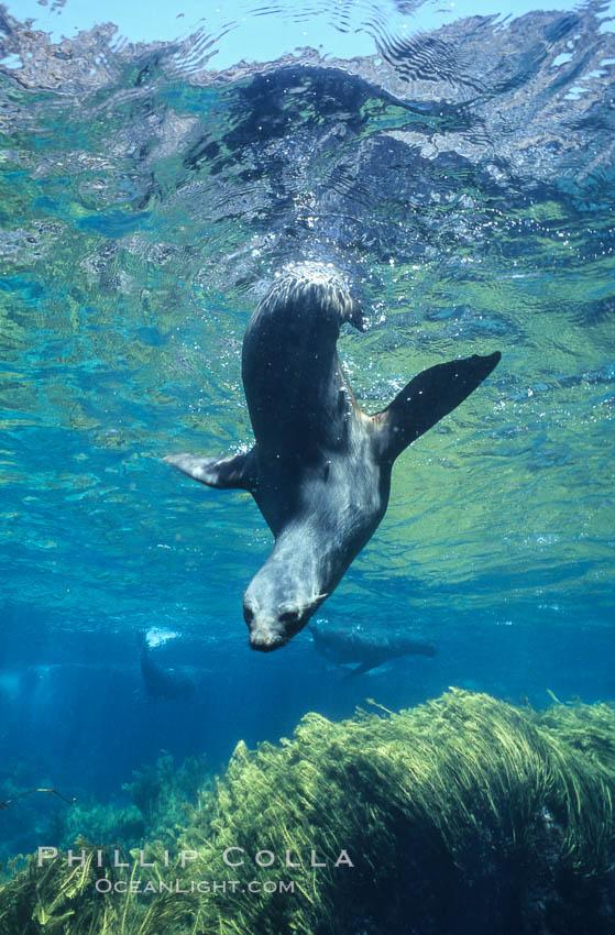 Guadalupe fur seal. Guadalupe Island (Isla Guadalupe), Baja California, Mexico, Arctocephalus townsendi, natural history stock photograph, photo id 10361