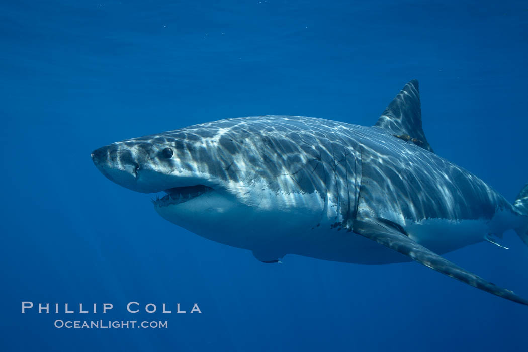 Great white shark, underwater. Guadalupe Island (Isla Guadalupe), Baja California, Mexico, Carcharodon carcharias, natural history stock photograph, photo id 21465