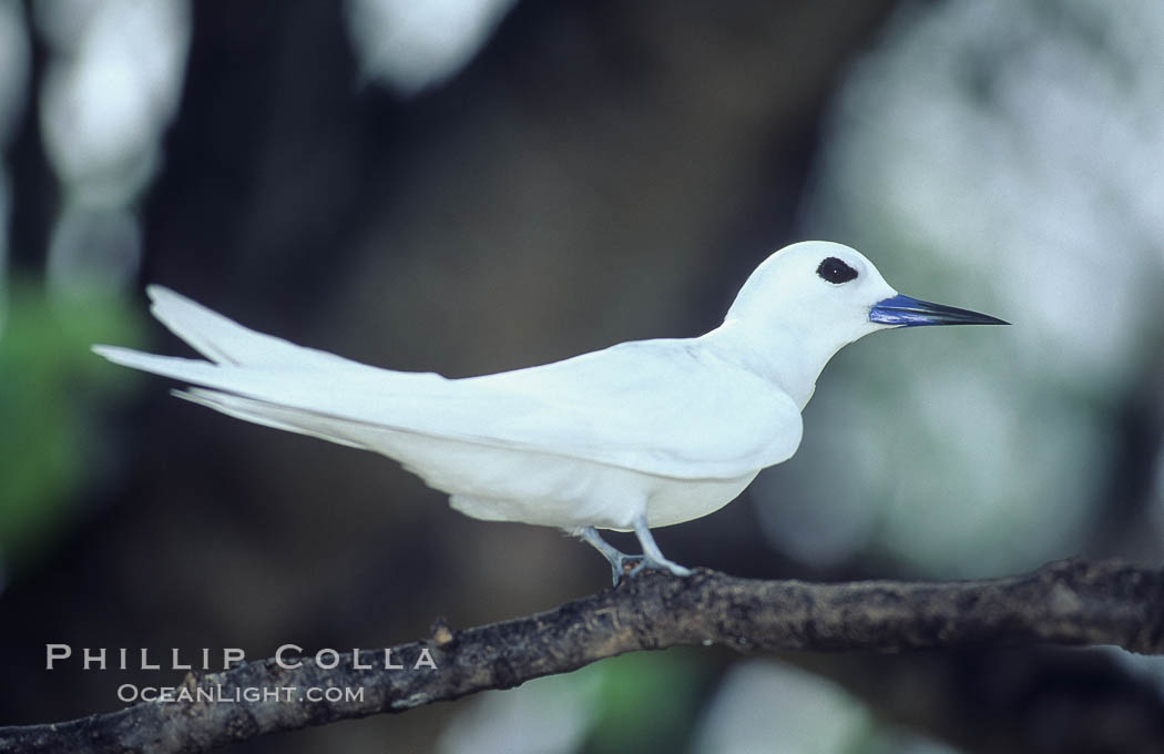 White (or fairy) tern, Gygis alba, Rose Atoll National Wildlife Sanctuary
